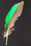 Feather of Northern Lapwing Stock Photos