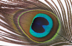 Free Feather Of Peacock Stock Photo - 3450860