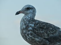 Seagull details royalty free stock photography