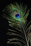Feather of a peacock Stock Photos