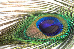Feather of peacock Royalty Free Stock Photography