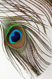 Feather of a peacock Stock Photography