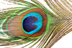 Feather of a peacock Stock Image