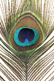 Feather peacock Royalty Free Stock Image