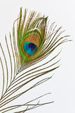 Feather of peacock. Colorful feather of peacock on white background Stock Photos