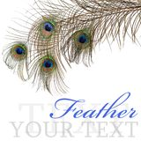 Feather of peacock isolated on white background Royalty Free Stock Photo