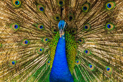Feather. Peacock spread its wings to find a partner royalty free stock images