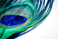 Feather peacock on a white and copy space texture background. Co Stock Images