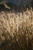 Feather pennisetum Royalty Free Stock Image
