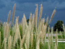 Feather pennisetum or Mission grass flower. Feather pennisetum, Mission grass flower plant on road side Stock Images