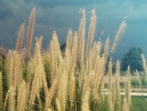Feather pennisetum, Mission grass flower plant on road side, Summer style filter Royalty Free Stock Image