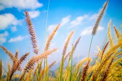 Feather Pennisetum, Mission Grass with mountain in the background. At Khao Kho, Phetchbun, Thailand stock photos