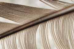 Feather with quill. Feather structure with diagonal quill Royalty Free Stock Photography