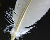 Feather for quill. Feather of a big bird close up photo with lots of details. This kind of feather was used as a quill stock image