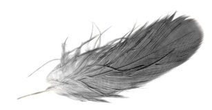 Feather quill over white Stock Photography