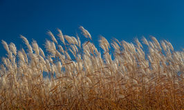 Feather Reed Grass in Autumn Stock Images