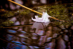 Feather Reflection 1. Whooping Crane feather floating on water with reflection Royalty Free Stock Image