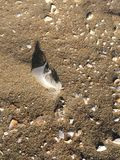 Feather in sand with shells Stock Photos