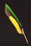 Feather of Scaly-breasted Lorikeet Stock Photography