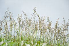 Feather spear-grass against the blue sky. Green summer meadow with Feather spear-grass Royalty Free Stock Photography