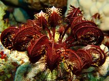 Feather Star Royalty Free Stock Image