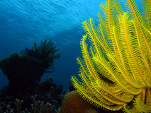 Feather Star. Yellow Feather Star Against Surface, Panglao, Philippines Stock Images