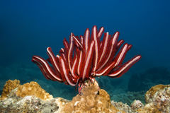Feather star. Underwater landscape with Feather star and coral Royalty Free Stock Photo