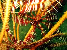 Feather Star Friend Royalty Free Stock Images