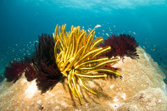Feather Star Meeting. Under the sea Royalty Free Stock Image