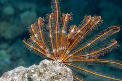 Free Feather Star Red Sea Coral Reef Royalty Free Stock Image - 157812486