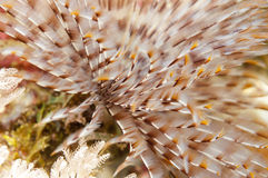 Feather Star or Sea Lily Stock Image