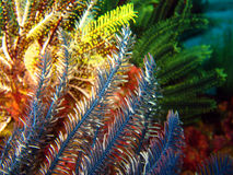 Feather Stars. San Miguel, Ticao, Philippines Stock Photography