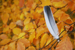 Feather stuck in a tree. Feather of bird got stuck in a tree Royalty Free Stock Photo
