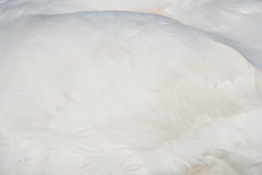 Feather of a Swan (Cygnini) Stock Image