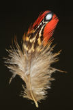 Feather of Temminck's Tragopan Stock Images