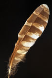 Feather of Ural Owl. (Strix uralensis Royalty Free Stock Images