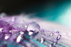 Feather with water drop macro. Violet feather with transparent drop of water dew. Macro feather scenery abstract background. Macro drops close up on the plumage royalty free stock image