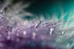 Feather with water drop macro. Violet feather with transparent drop of water dew. Macro feather scenery abstract background. Macro drops close up on the plumage stock images