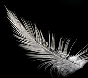 Feather with water drops Royalty Free Stock Image