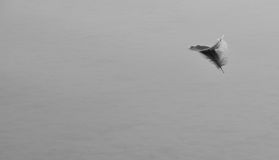 Feather on the water. A goose feather floating on the water in black and white Royalty Free Stock Photos