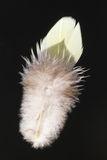 Feather of White-bellied Green Pigeon Royalty Free Stock Images