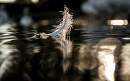 Feather. White Swan feather on the water surface of the river. On the blurry background Royalty Free Stock Photo