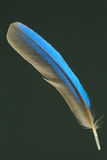 Feather of White-throated Kingfisher Stock Photos
