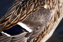 Feather. Of a young mallard female Stock Photos