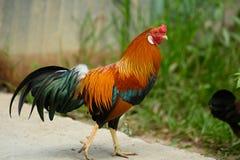 五颜六色的雄鸡有颜色火焰的槽枥外  免版税库存照片