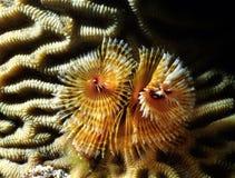 Featherduster sur le corail de cerveau Photographie stock libre de droits