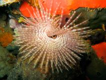 Featherduster Worm Over Sponge on Coral Reef Stock Images