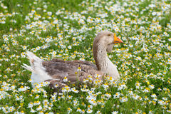 Feathered duck in a meadow. Full of camomiles, summer background Royalty Free Stock Image