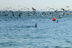 Feathered fishers. A giant flock of cormorants prey on schools of fish. Water area of the Persian Gulf. Umm al Quwain. United Arab Emirates Stock Photo