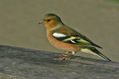 Feathered Friend. Close up of a male chaffinch, a British garden bird royalty free stock image